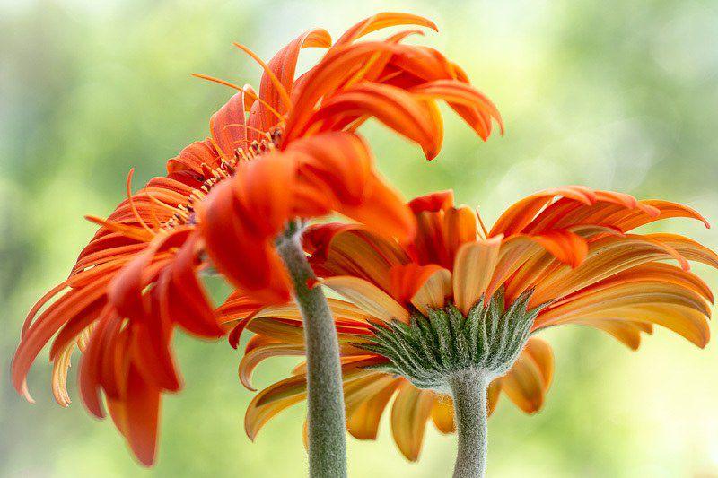 Flower Phots – Flower bokeh, purple flower photo, macro flower, flower fine art, daisy photography, purple flower, daisy fine art, flower picture ❤ liked on polyvore (see more flower wall art).